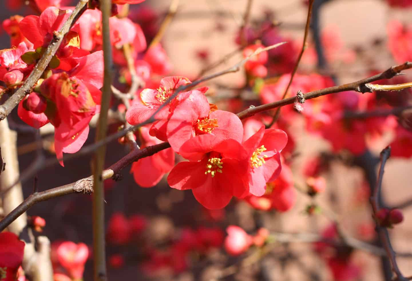 ornamental quince blooms february